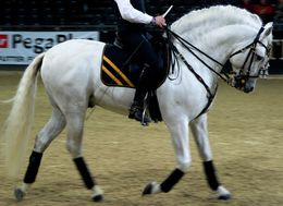 Andalusian Riding and Show Horse